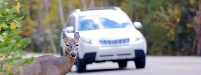 Does Insurance Cover Car Accidents Caused by Animals